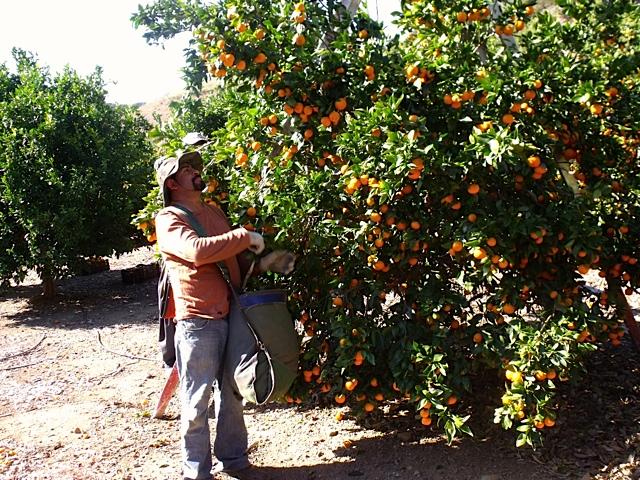picking ojai pixie tangerines