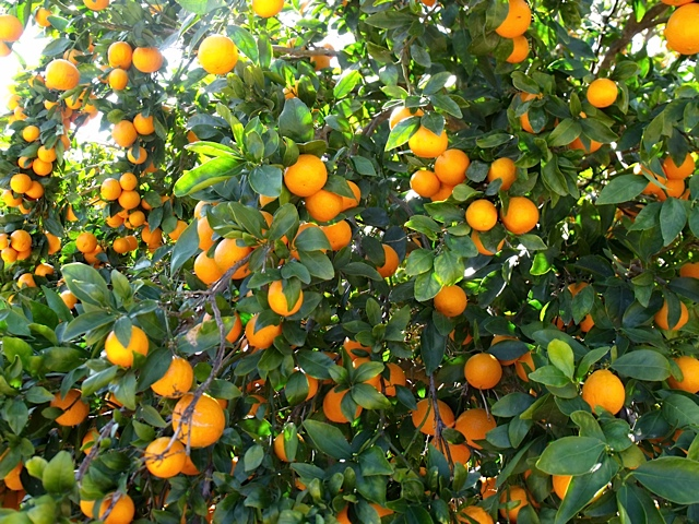 how to grow a tangerine tree from a cutting