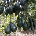Rancho Rodoro Avocado Grove – Santa Paula, California