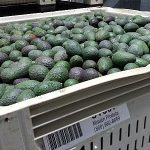Mission Produce Packing House Tour – Oxnard, California