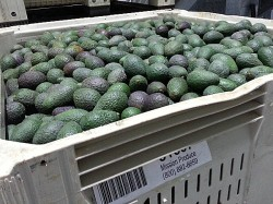 Mission Produce Packing House Tour - Oxnard, California