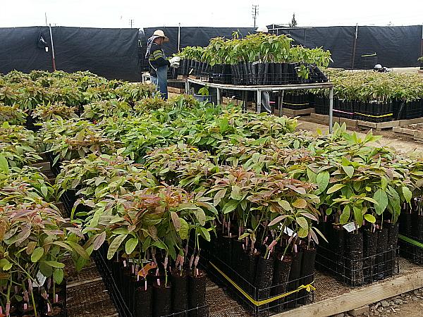 Brokaw Avocado Nursery Tour - Ventura, California