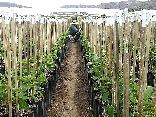 Brokaw Avocado Nursery Tour - Ventura, California