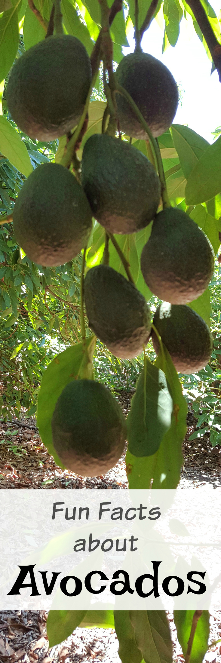 Fun and Interesting Facts About Avocados