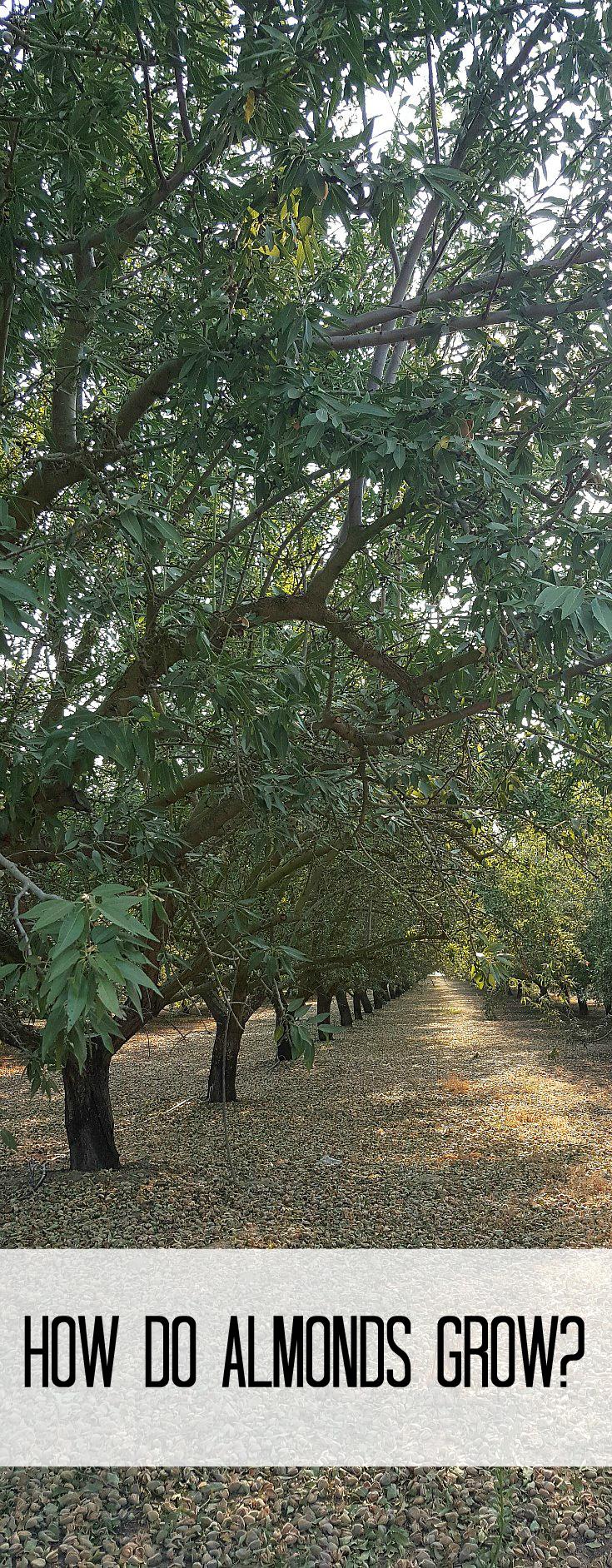 How do almonds grow?California Almond Farm Tour and 15 Delicious Almond Recipes