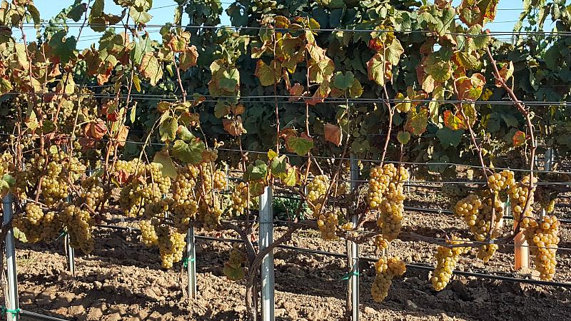 Wine Grapes at Cambria Winery & Vineyards in Santa Maria
