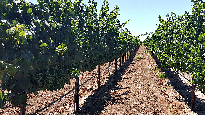 lodi acquiesce grApe vines
