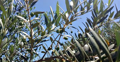 lodi calivirgin baby olives
