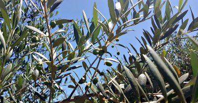 Lodi Olive Oil Tasting at Calivirgin