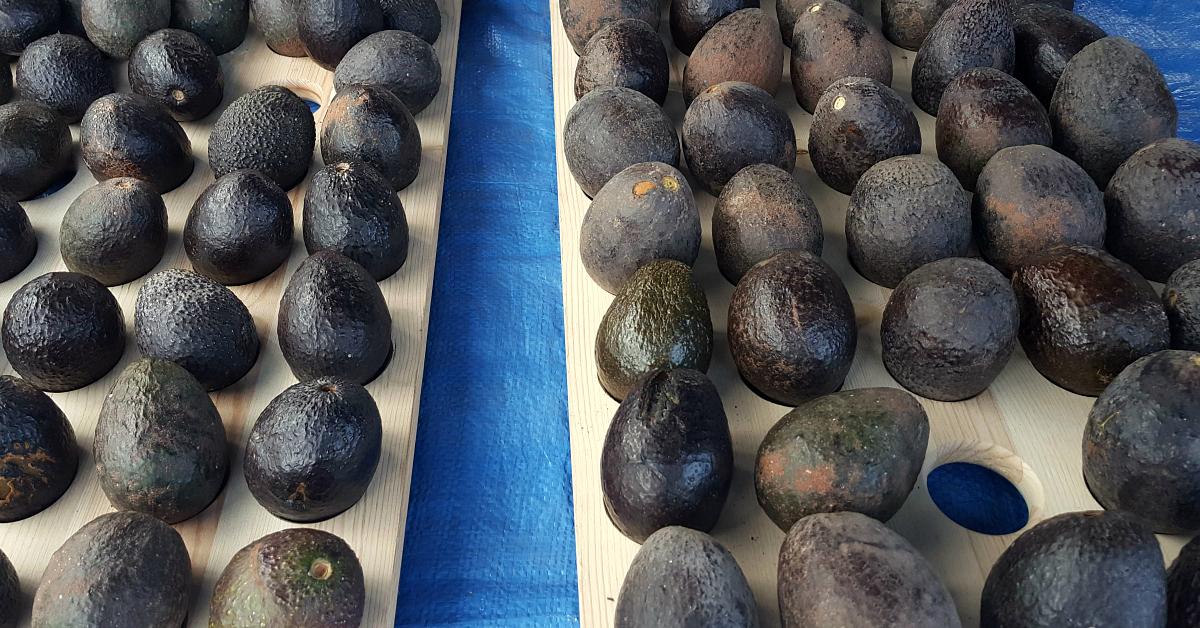 solvang farmers market avocado