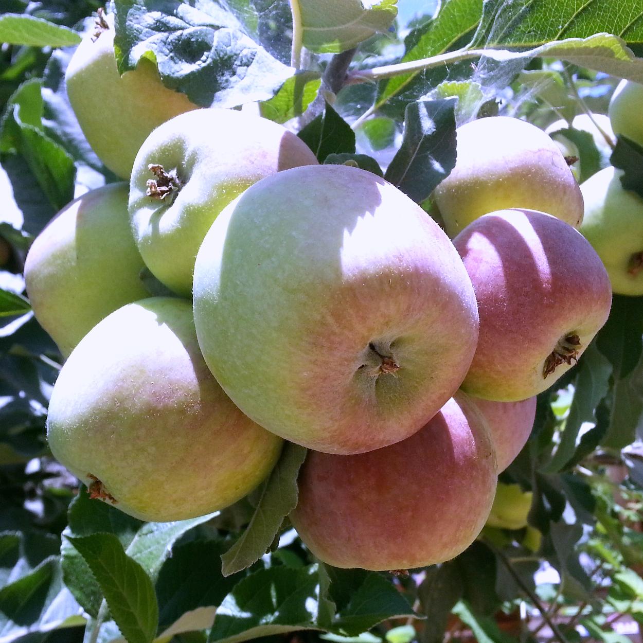 insta ripe apples on a tree