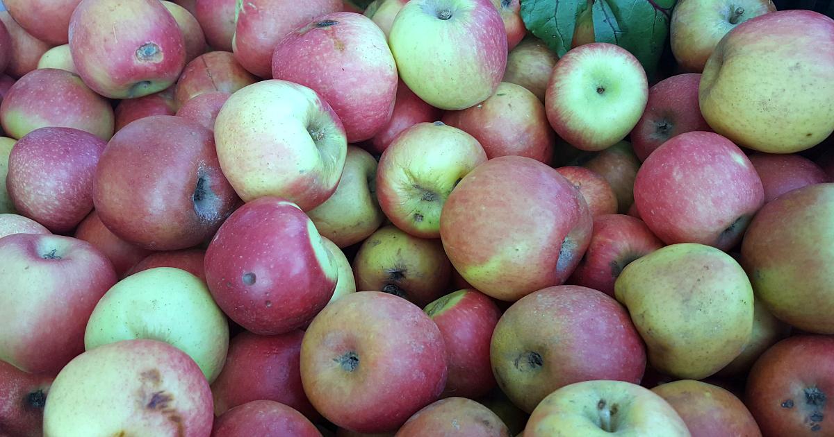 lots of apples in a bin