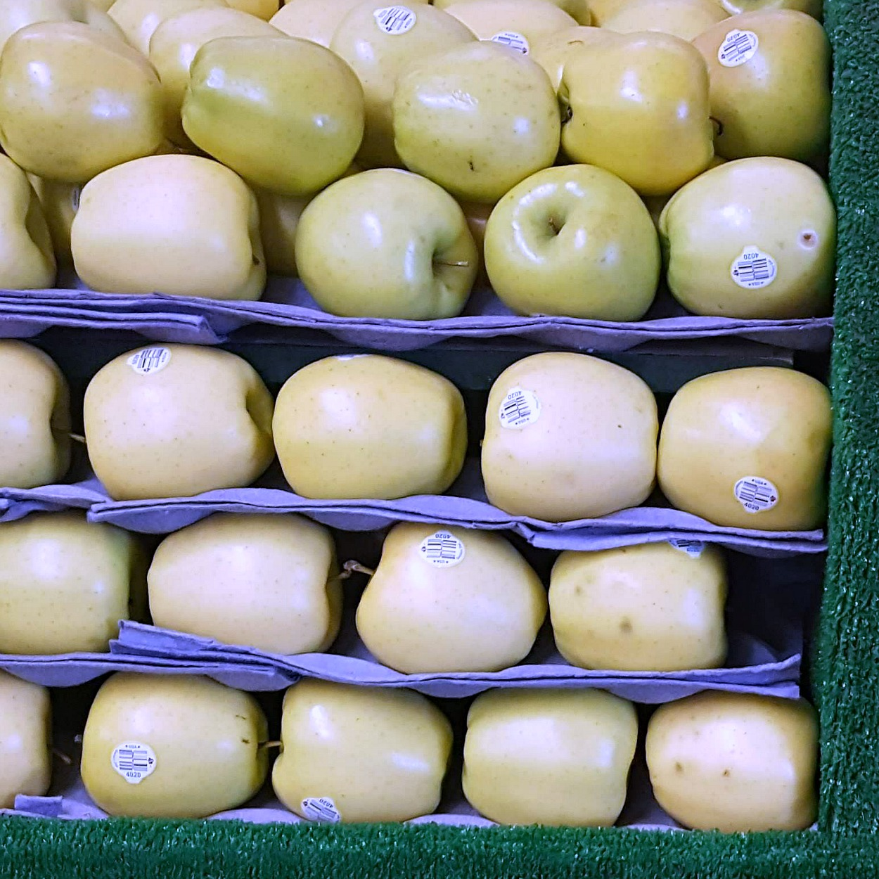 rows of golden delicious apples