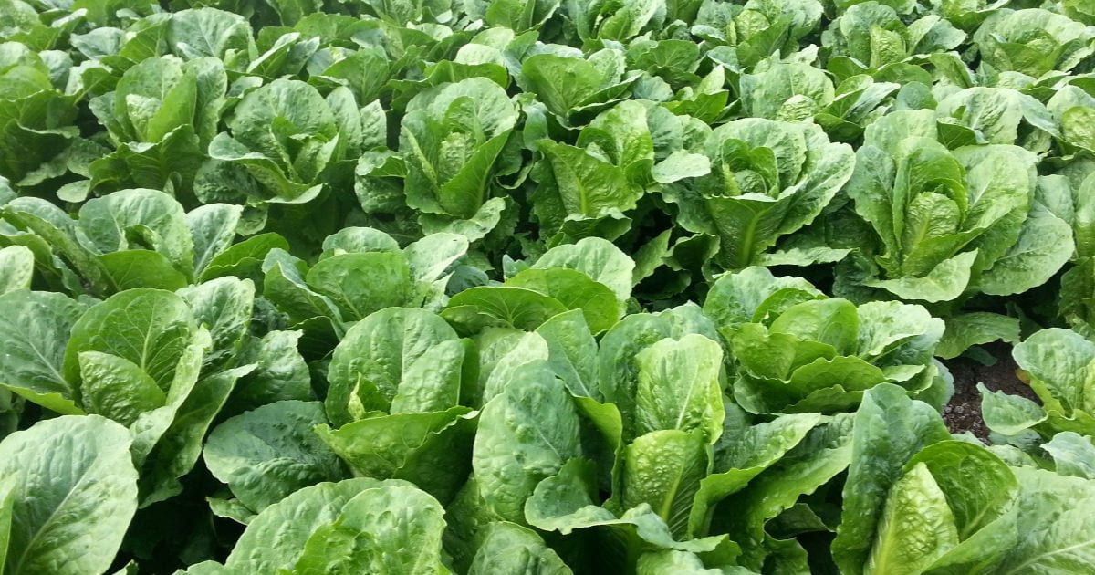 romaine lettuce farm